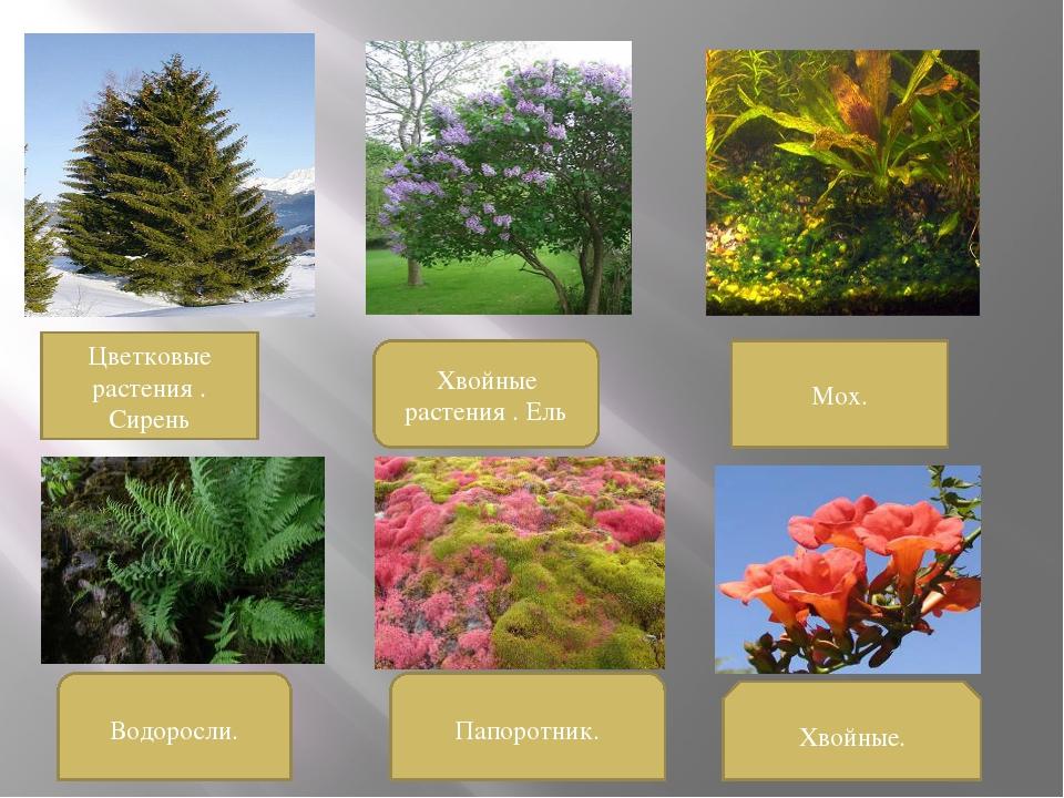 Цветковые растения . Сирень Хвойные растения . Ель Мох. Водоросли. Папоротник...
