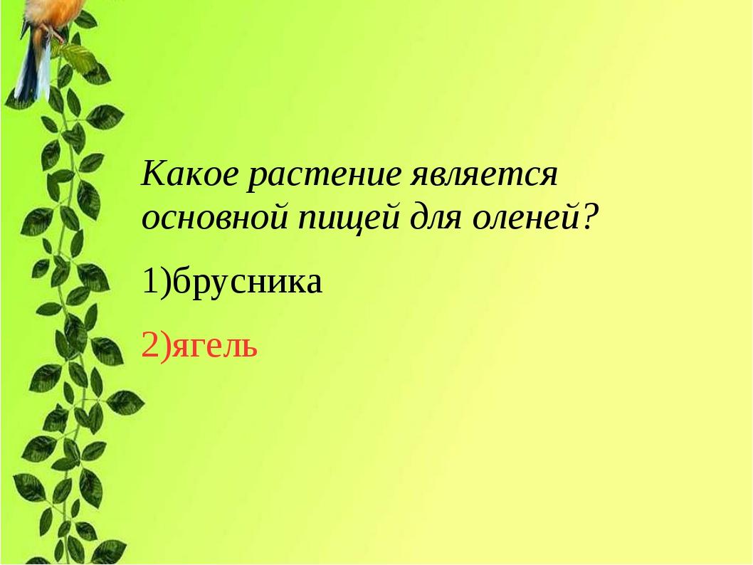 Какое растение является основной пищей для оленей? 1)брусника 2)ягель