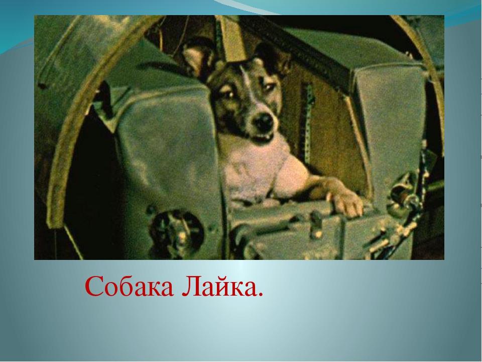 Собака Лайка.