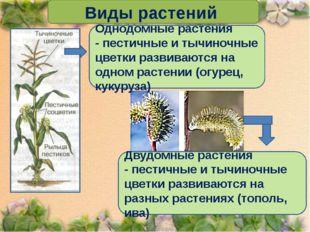 Виды растений Однодомные растения - пестичные и тычиночные цветки развиваютс