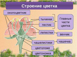 Строение цветка венчик тычинки пестик Главные части цветка лепестки чашечка ч