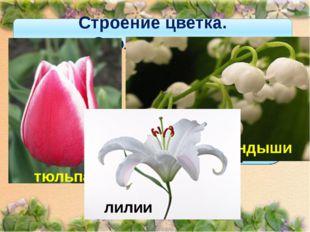 Строение цветка. Околоцветник Если околоцветник состоит только из венчика, то