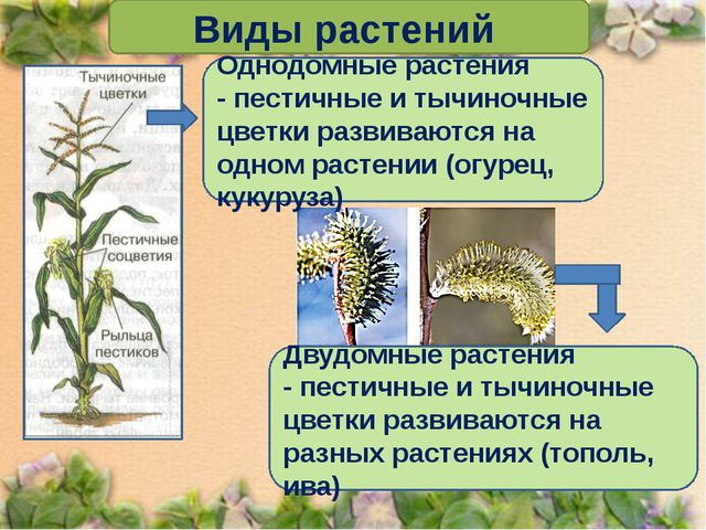 Виды растений Однодомные растения - пестичные и тычиночные цветки развиваютс...