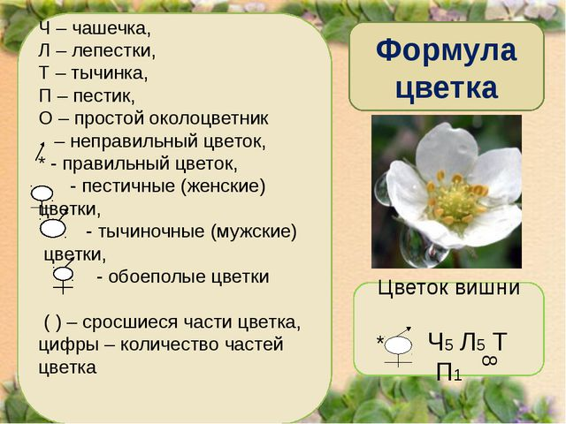 Формула цветка Ч – чашечка, Л – лепестки, Т – тычинка, П – пестик, О – просто...