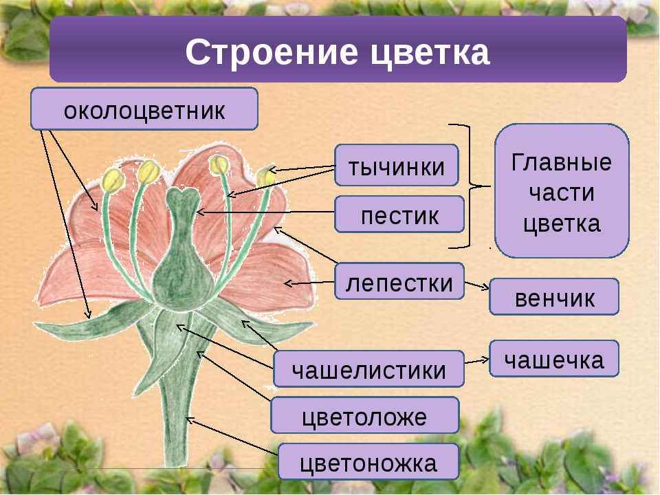 Строение цветка венчик тычинки пестик Главные части цветка лепестки чашечка ч...