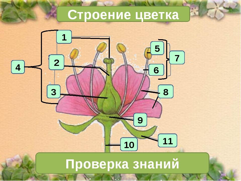 1 4 2 3 Строение цветка 7 Проверка знаний 11 10 6 5 8 9