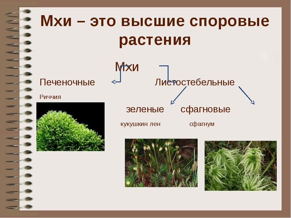 Мхи – это высшие споровые растения Мхи Печеночные Листостебельные Риччия зеле...