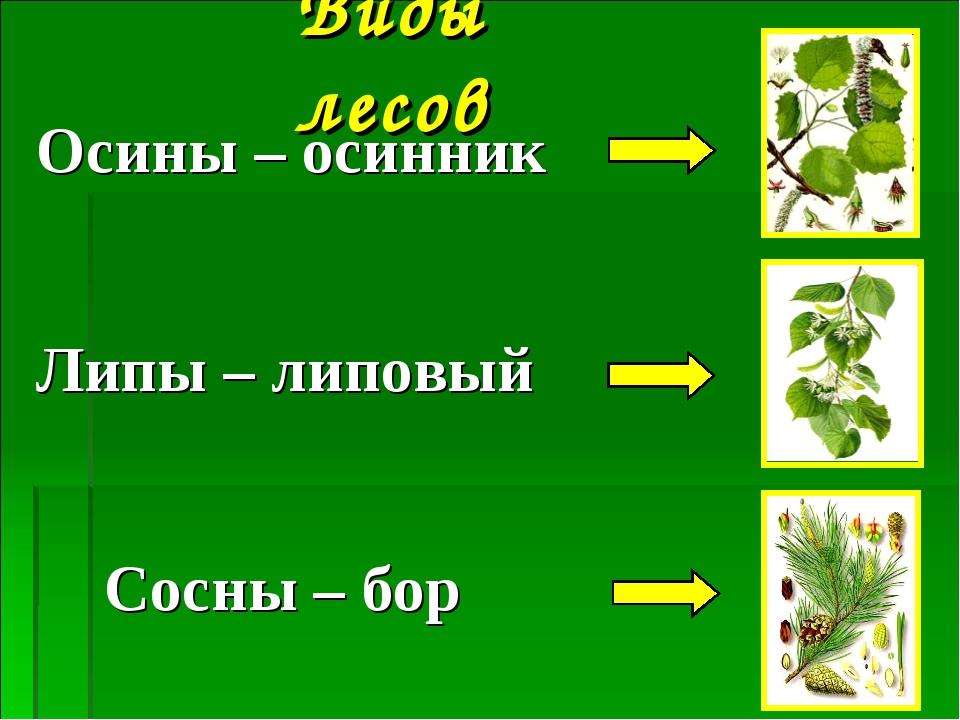 Виды лесов Осины – осинник Липы – липовый Сосны – бор