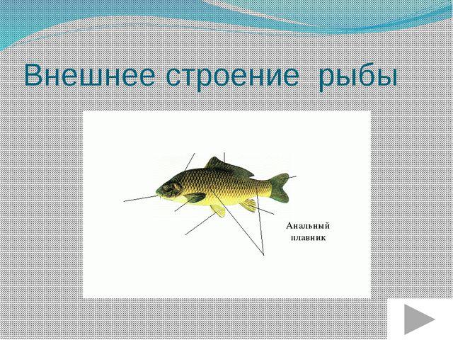 Внешнее строение рыбы Брюшной плавник