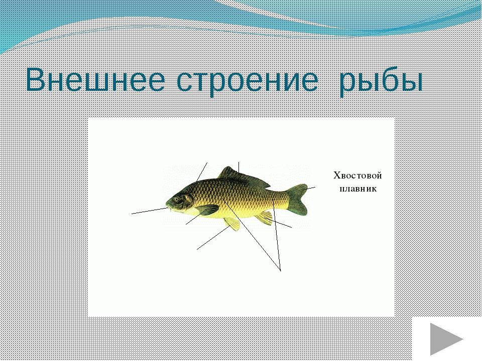 Внешнее строение рыбы Анальный плавник