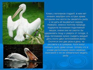 Клюв у пеликанов гладкий, в нем нет никаких зазубрин или острых краев, котор