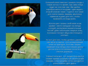 Большой клюв помогает срывать плоды с тонких веток в то время, как сама птица