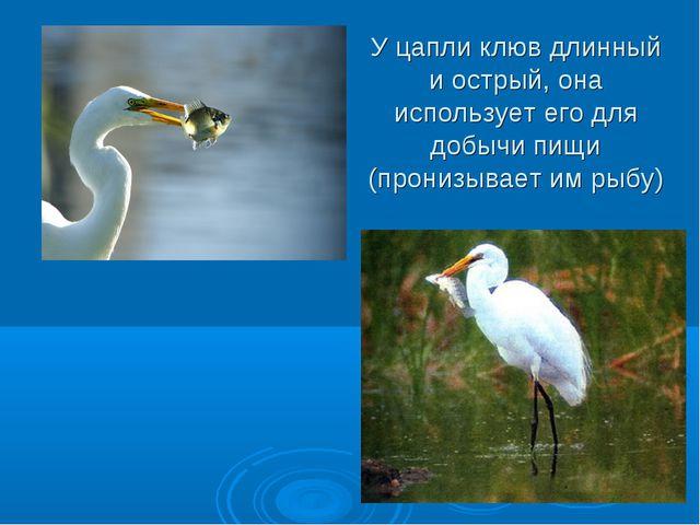 У цапли клюв длинный и острый, она использует его для добычи пищи (пронизывае...