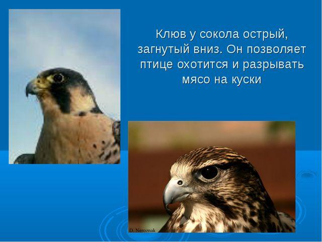 Клюв у сокола острый, загнутый вниз. Он позволяет птице охотится и разрывать...