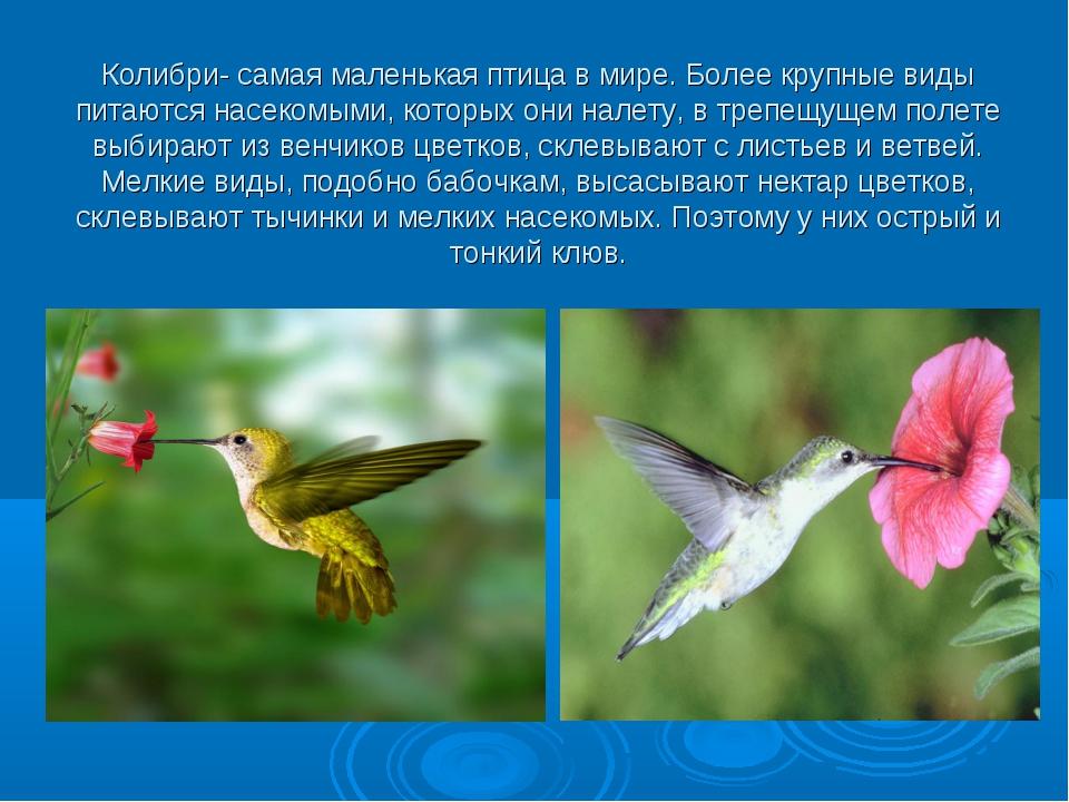 Колибри- самая маленькая птица в мире. Более крупные виды питаются насекомыми...