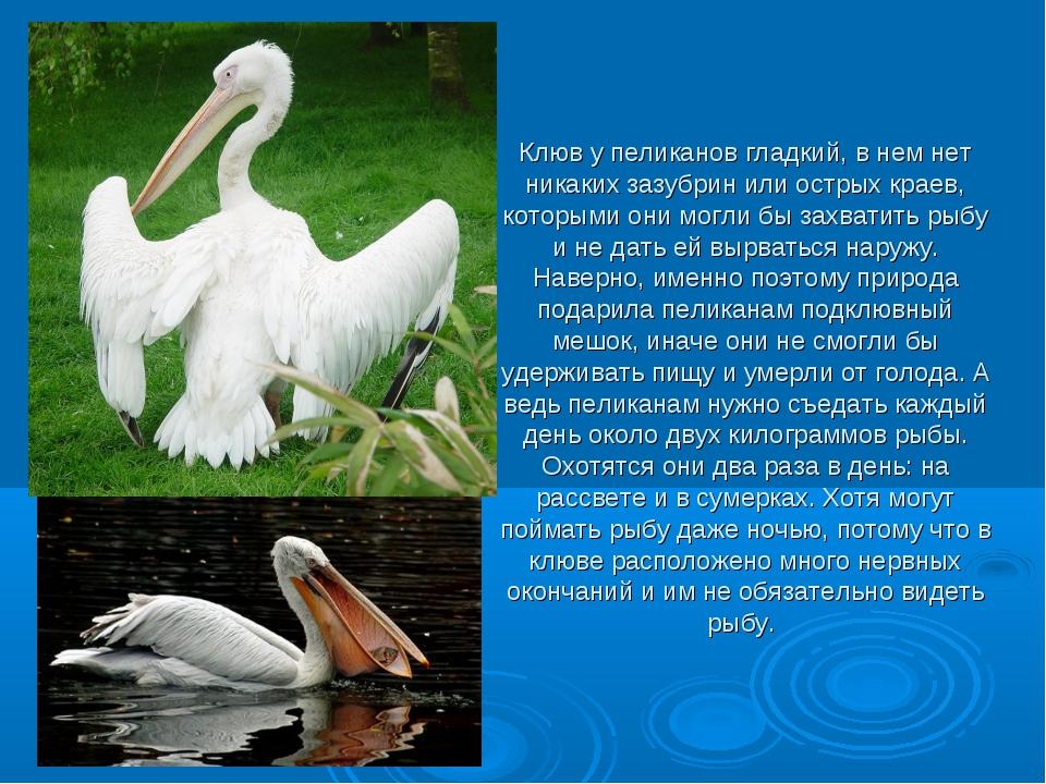 Клюв у пеликанов гладкий, в нем нет никаких зазубрин или острых краев, котор...