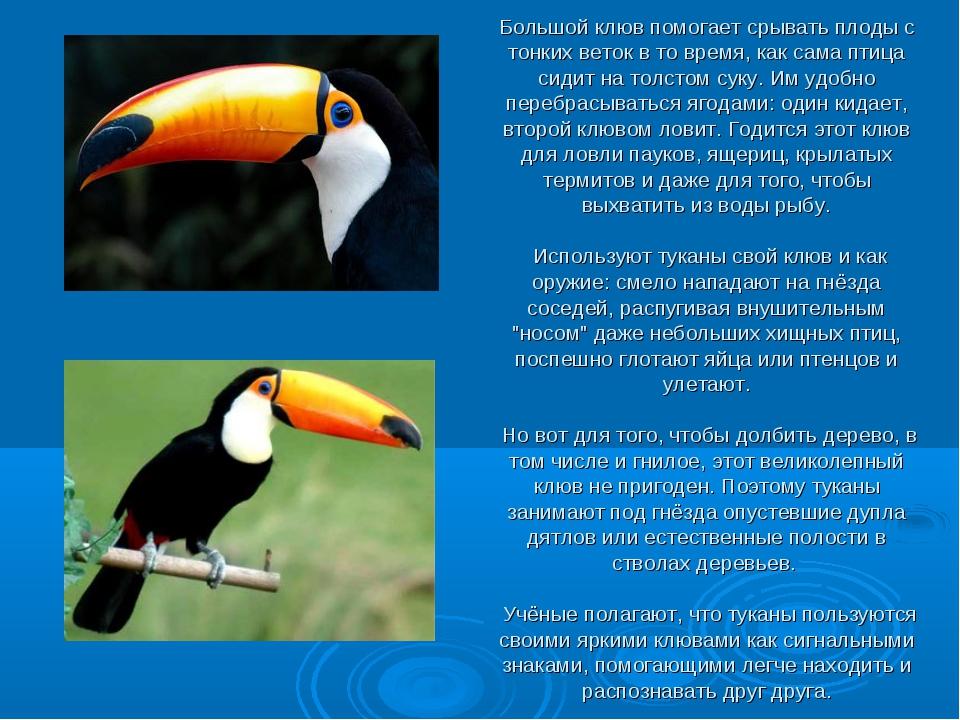 Большой клюв помогает срывать плоды с тонких веток в то время, как сама птица...
