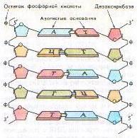 ДНК схема