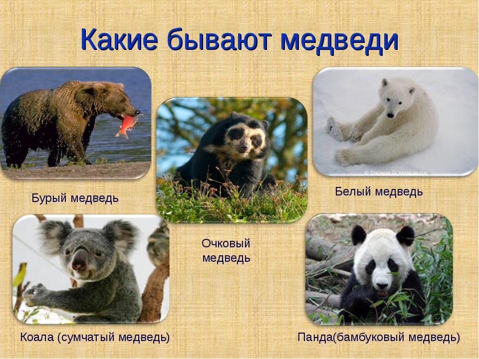 Какие бывают медведи Белый медведь Бурый медведь Коала (сумчатый медведь) Пан...