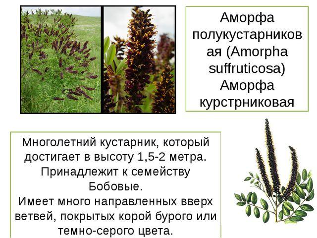 Аморфа полукустарниковая (Amorpha suffruticosa) Аморфа курстрниковая Многолет...