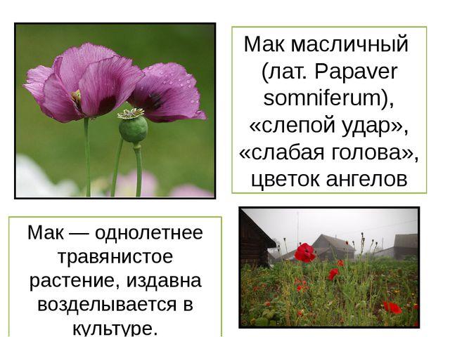 Мак масличный (лат. Papaver somniferum), «слепой удар», «слабая голова», цвет...