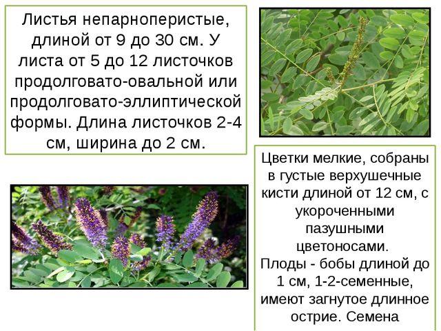 Листья непарноперистые, длиной от 9 до 30 см. У листа от 5 до 12 листочков пр...