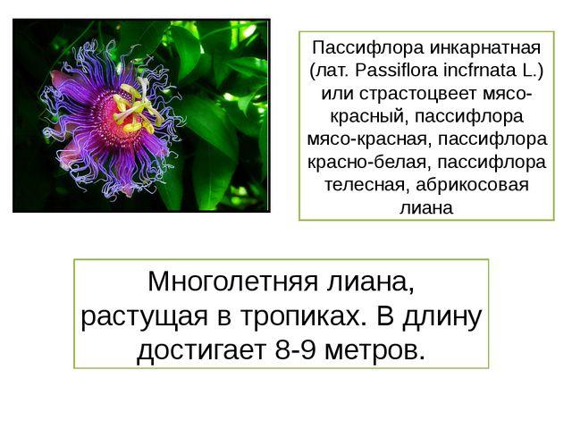 Пассифлора инкарнатная (лат. Passiflora incfrnata L.) или страстоцвеет мясо-к...