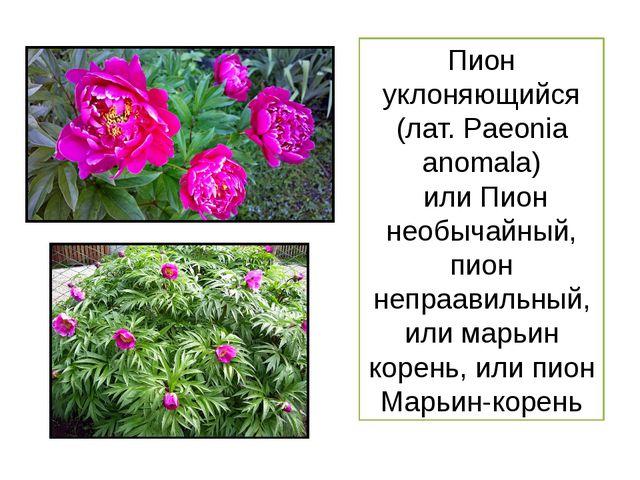 Пион уклоняющийся (лат. Paeоnia anоmala) или Пион необычайный, пион непраавил...