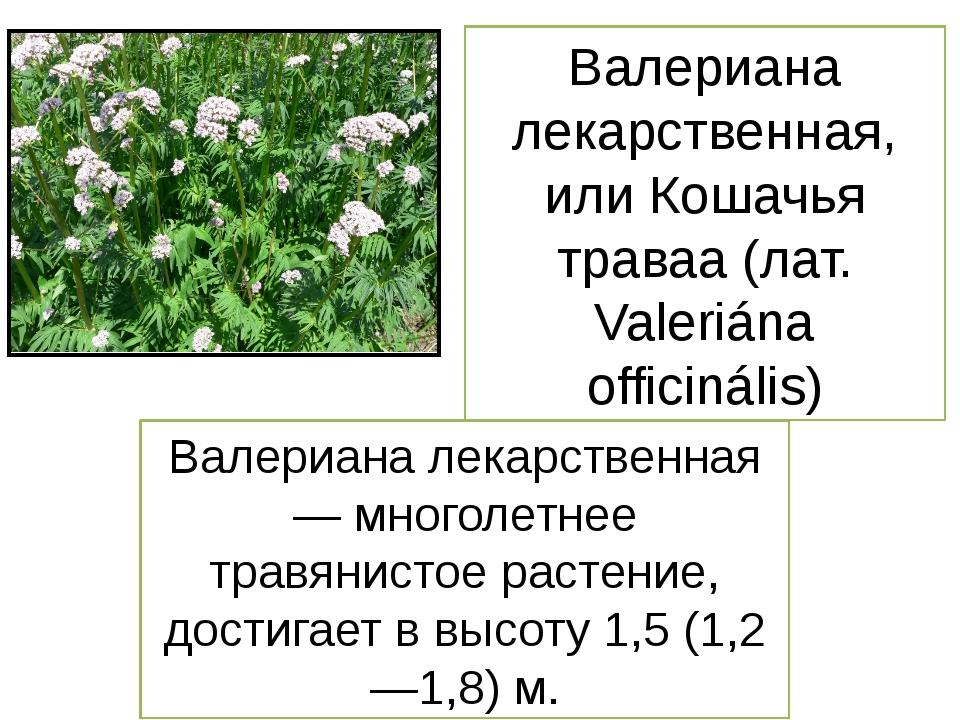 Валериана лекарственная, или Кошачья траваа (лат. Valeriána officinális) Вале...