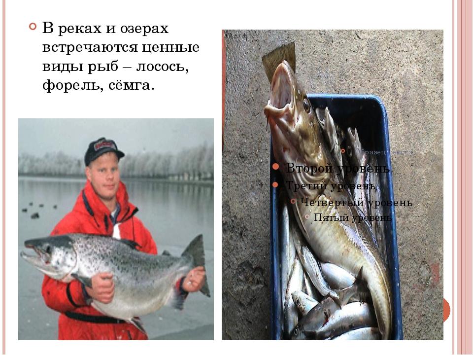 В реках и озерах встречаются ценные виды рыб – лосось, форель, сёмга.