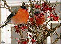 Птицы вокруг нас - Страница 2 - RUFOR.ORG