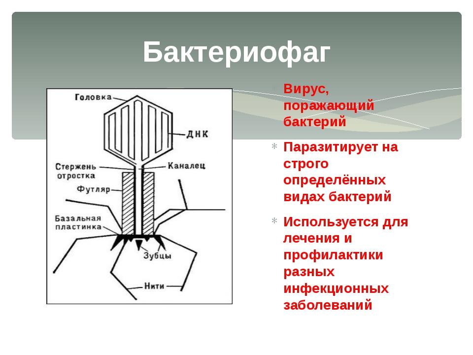 Вирус, поражающий бактерий Паразитирует на строго определённых видах бактерий...