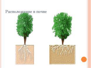 Расположение в почве Корни растений различаются не только по типу корневой си