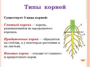 Существует 3 вида корней: Главный корень — корень, развивающийся из зародышев