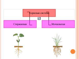 Корневые системы различных растений могут относиться к одному из двух типов.