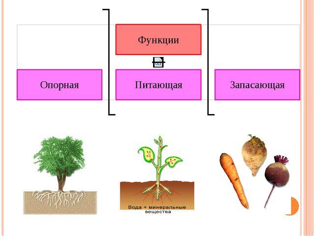 Опорная. Любое растение удерживается в почве благодаря хорошо разветвленным...