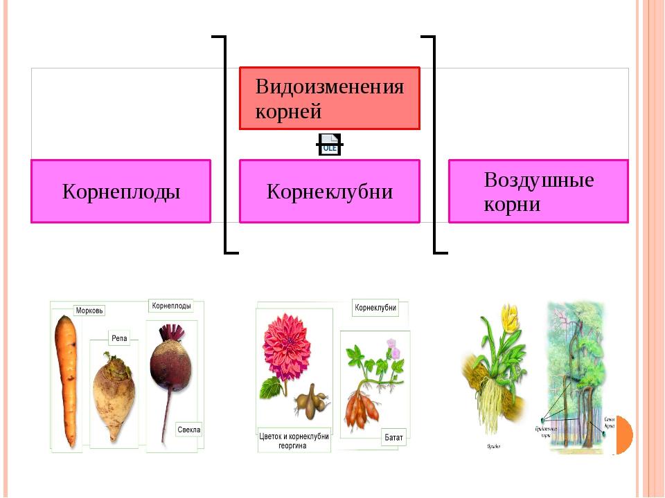 У корней растений есть еще одна очень интересная особенность: они могут прин...