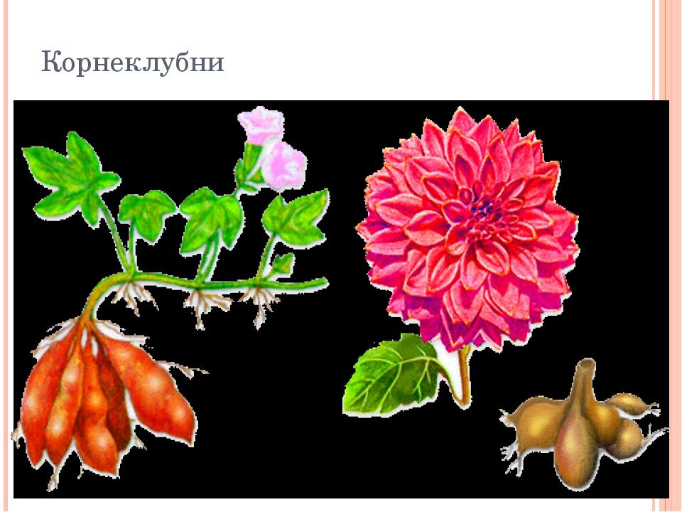 Корнеклубни У некоторых растений утолщаются не главные, а боковые или придат...