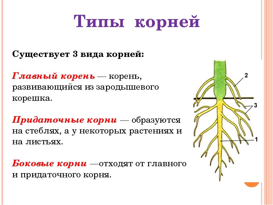 Существует 3 вида корней: Главный корень — корень, развивающийся из зародышев...