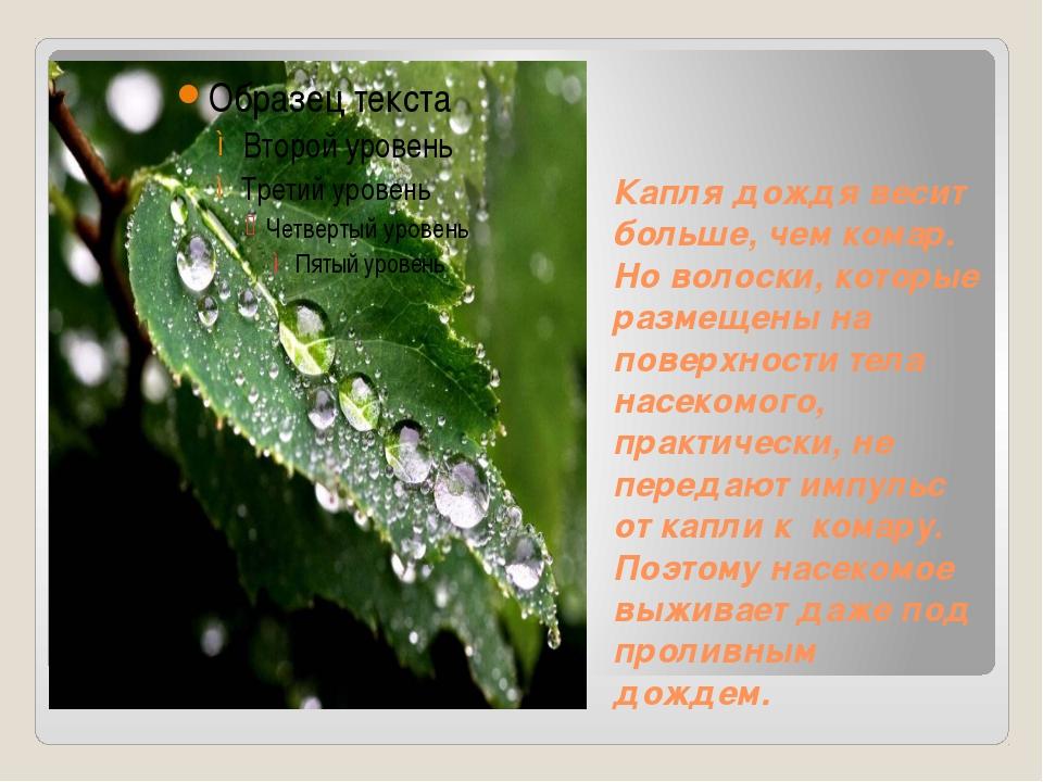 Капля дождя весит больше, чем комар. Но волоски, которые размещены на поверхн...