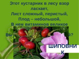 Этот кустарник в лесу взор ласкает, Лист сложный, перистый, Плод – небольшой,