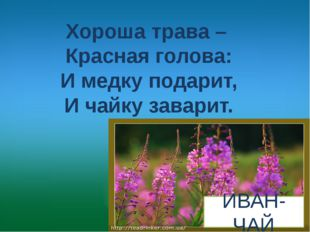 Хороша трава – Красная голова: И медку подарит, И чайку заварит. ИВАН-ЧАЙ