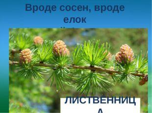 Вроде сосен, вроде елок А зимой без иголок. ЛИСТВЕННИЦА