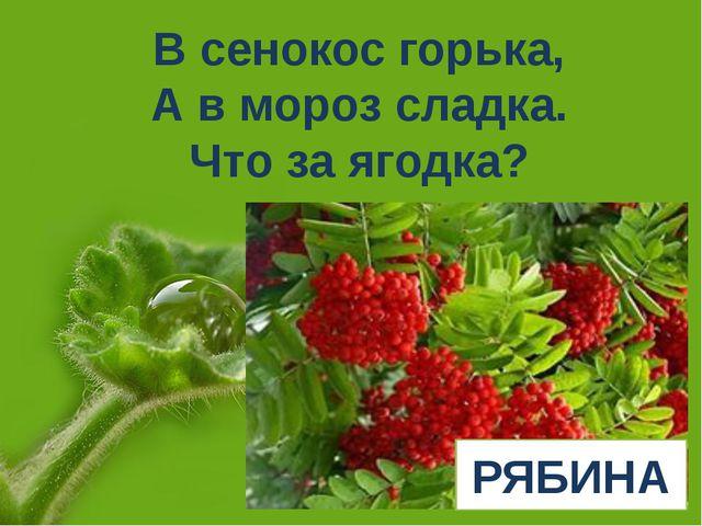 В сенокос горька, А в мороз сладка. Что за ягодка? РЯБИНА