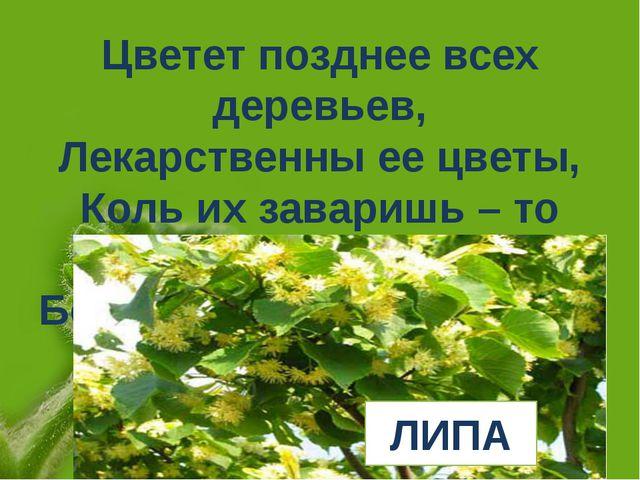 Цветет позднее всех деревьев, Лекарственны ее цветы, Коль их заваришь – то п...