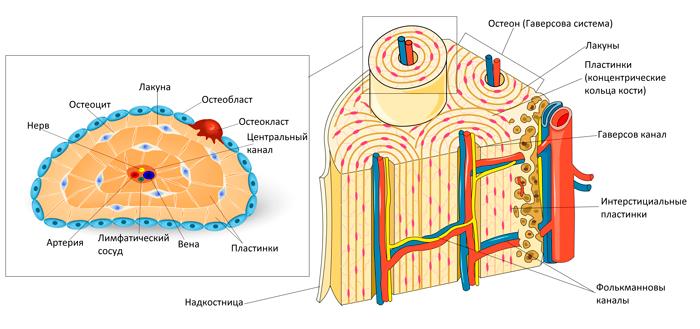 Структура компактной кости