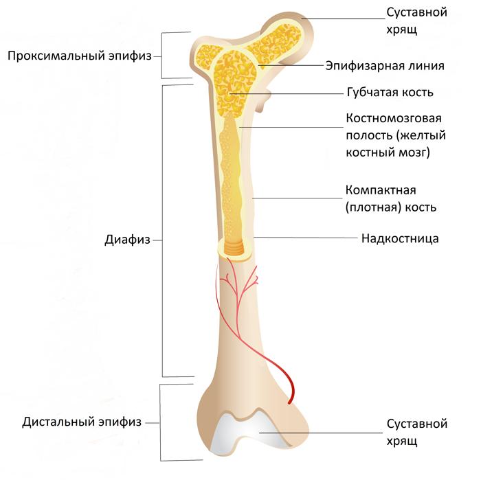 Компоненты длинной кости