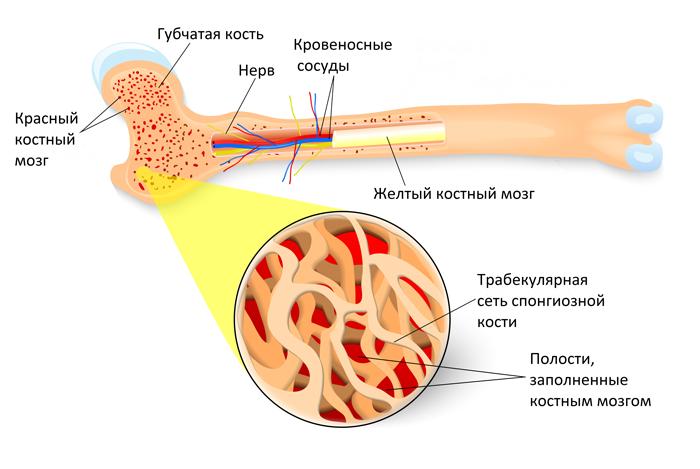 Структура губчатой кости