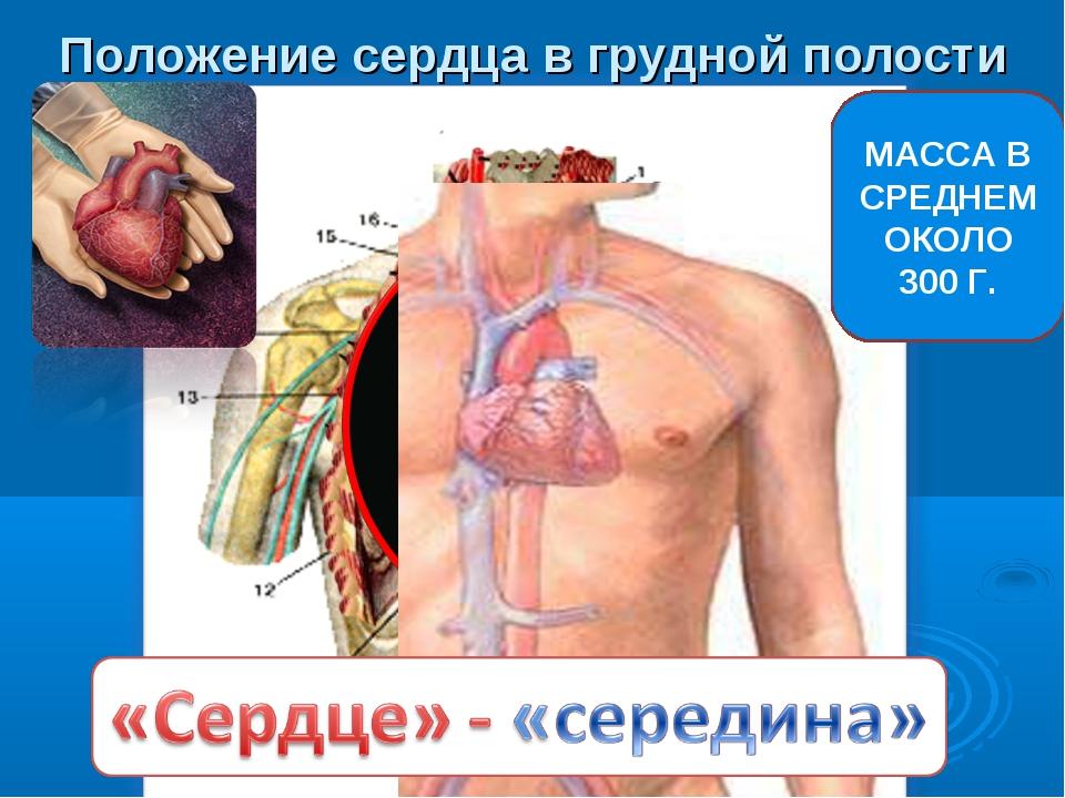 Положение сердца в грудной полости МАССА В СРЕДНЕМ ОКОЛО 300 Г.
