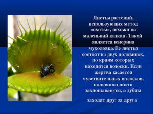 Листья растений, использующих метод «охоты», похожи на маленький капкан. Тако